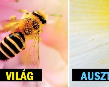 Kiderült, hogy Ausztrália a kék méhek otthona, és a világ nem tud betelni a fényképeikkel