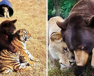 Egy oroszlán, egy medve és egy tigris, akit megmentettek a bántalmazó tulajdonosoktól, úgy döntöttek, hogy családként élnek együtt