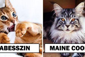 15+ macskafajta, amelyekbe még a lelkes kutyaimádók is beleszerethetnek