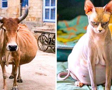 Hogyan néz ki 24 állat szülés előtt?