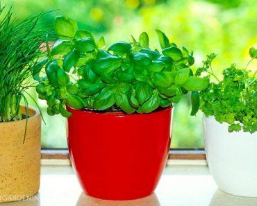 8 fűszernövény, amely könnyen termeszthető a konyhában is