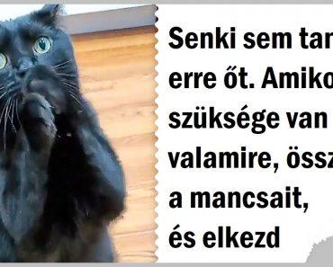 Ez a macska megtanult úgy könyörögni, hogy az emberek szíve elolvad, és lehetetlenség nemet mondani neki